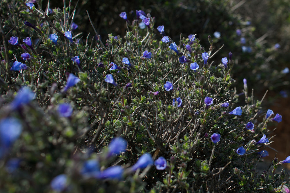 Chania & Sougia - Kamejnička / Lithodora hispidula